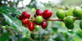 Löfbergs káva Sidamo Ethiopia 0,5 kg - 2